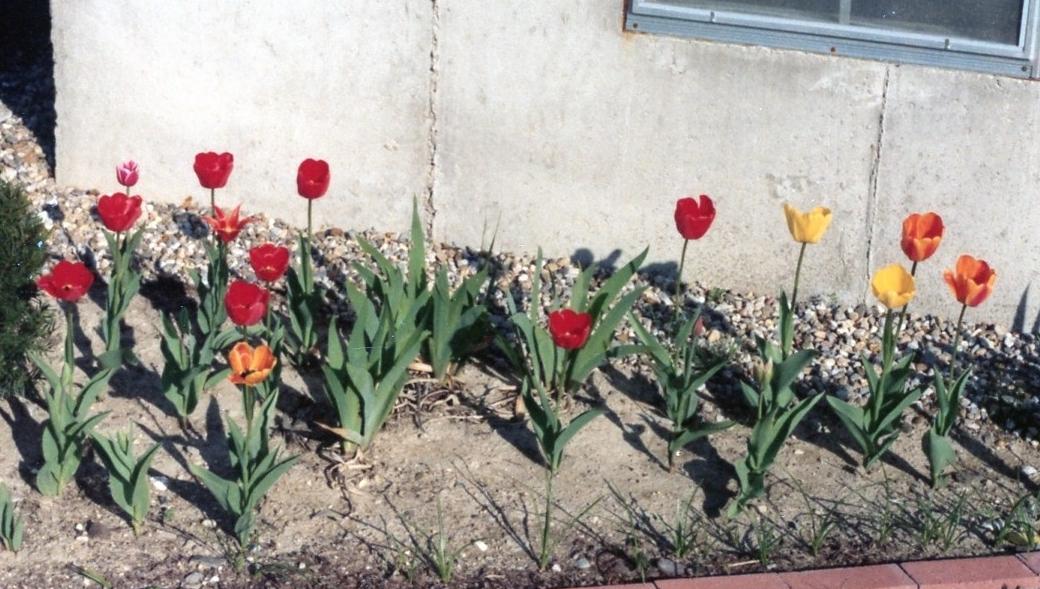 tulips 1981007 copy