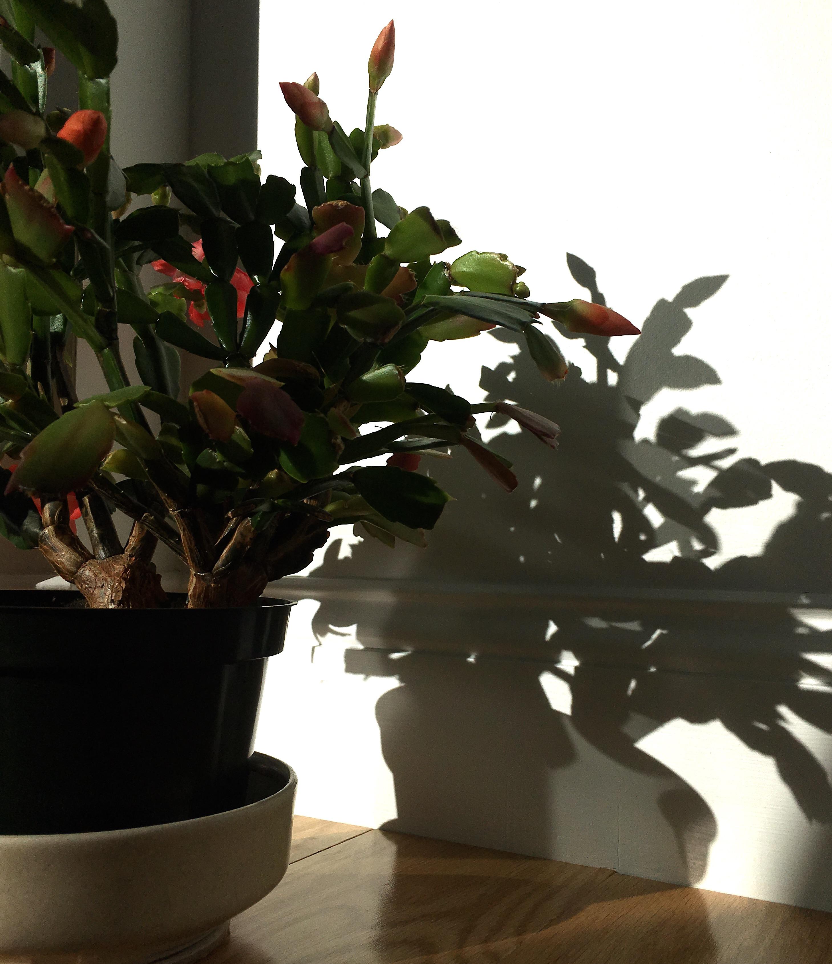 cactus shadow 2