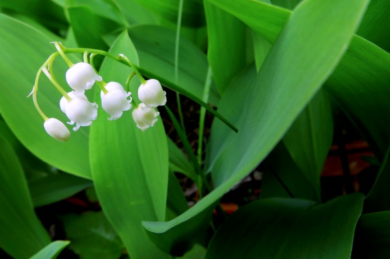 lilies of the valley - rule of thirds