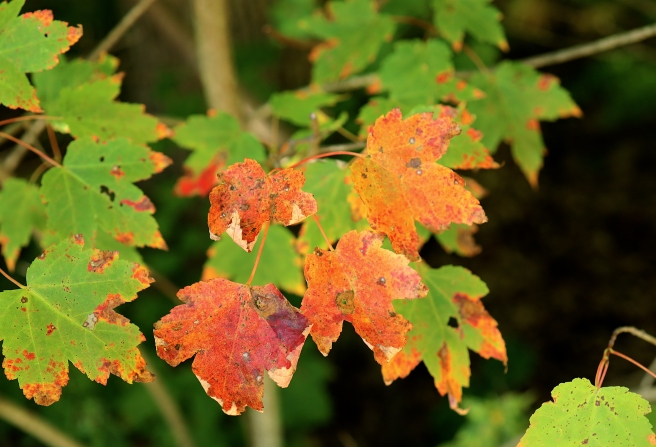 red & green leaves