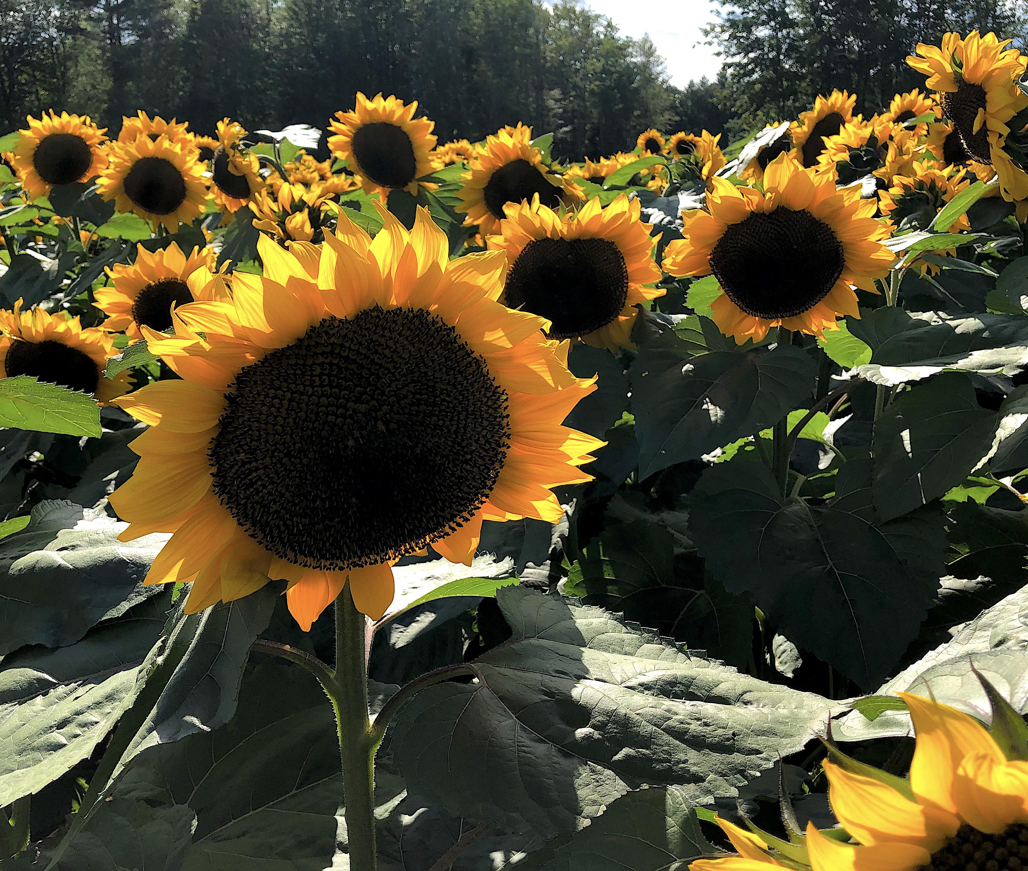 sunflowers group