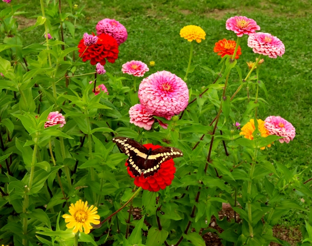 zinnia butterfly close