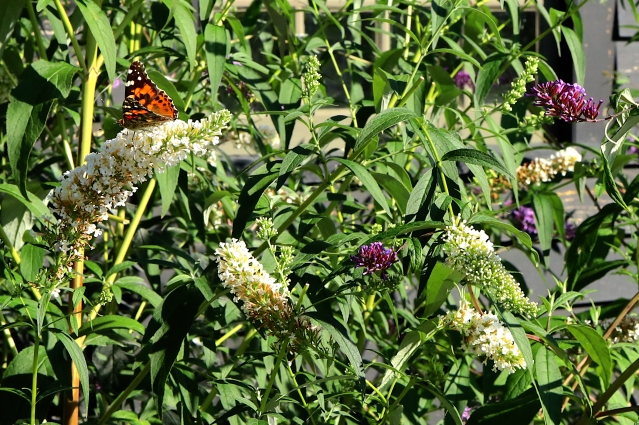 butterfly bush zoom