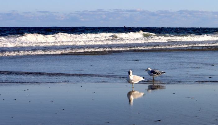 pair of gulls copy