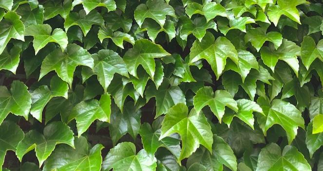 wall leaf