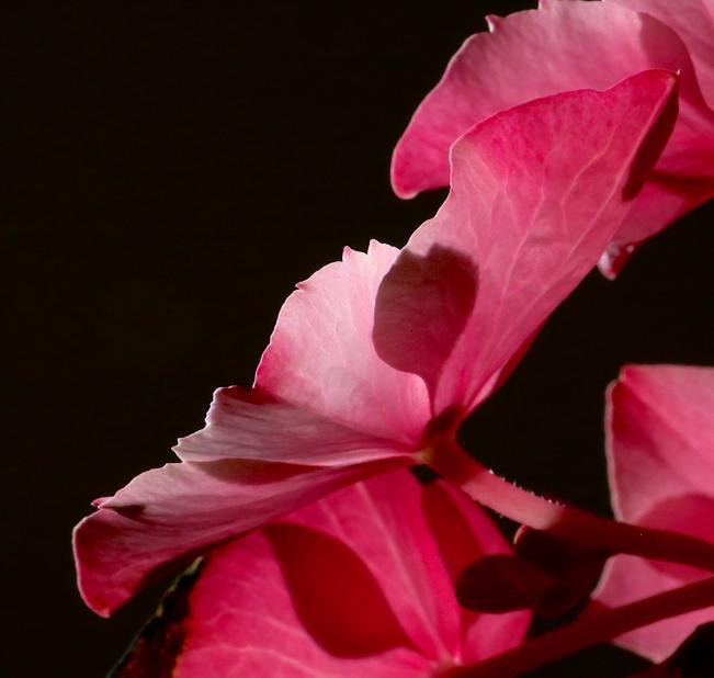hyndrangea leaf