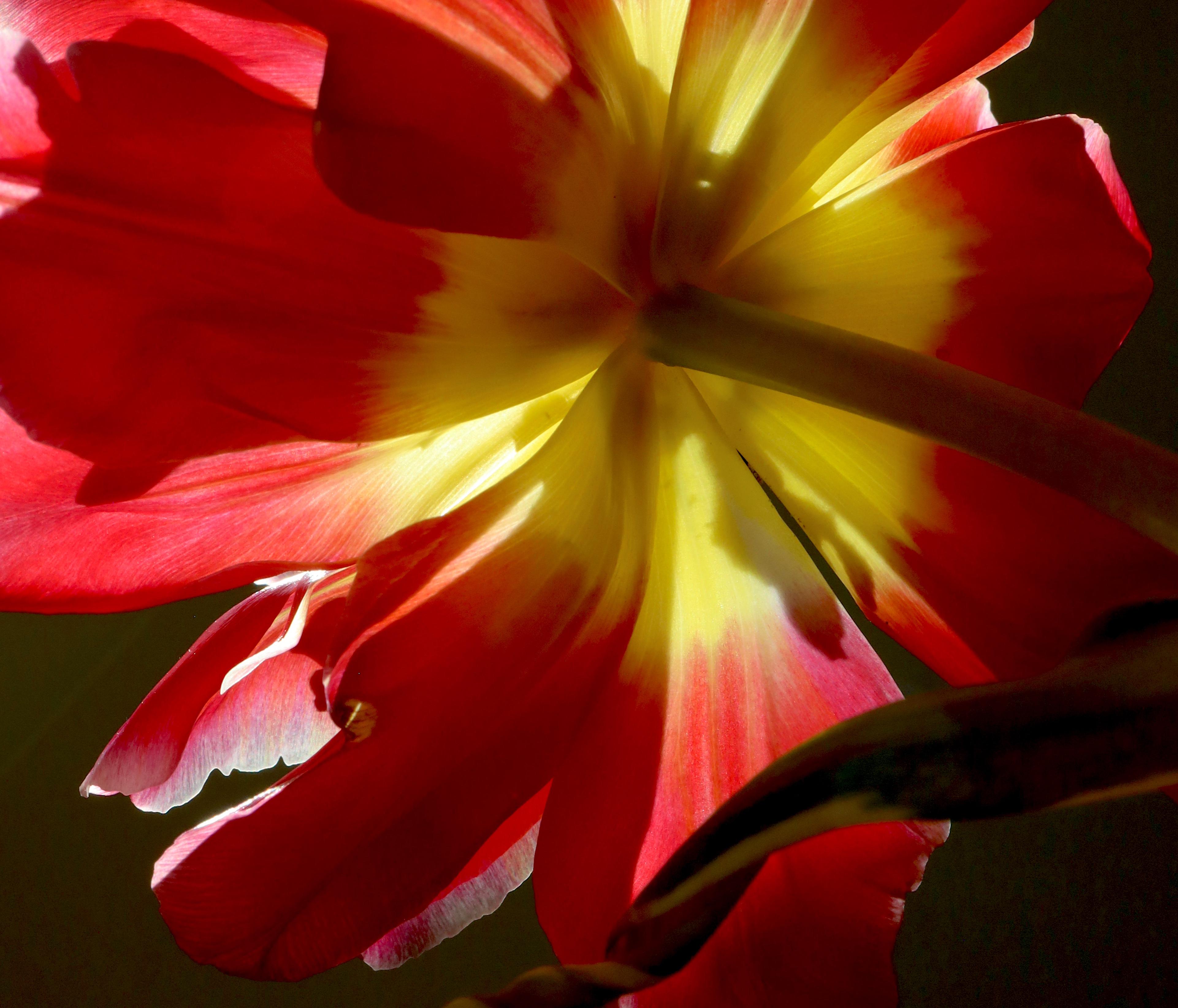 tulip crop 1
