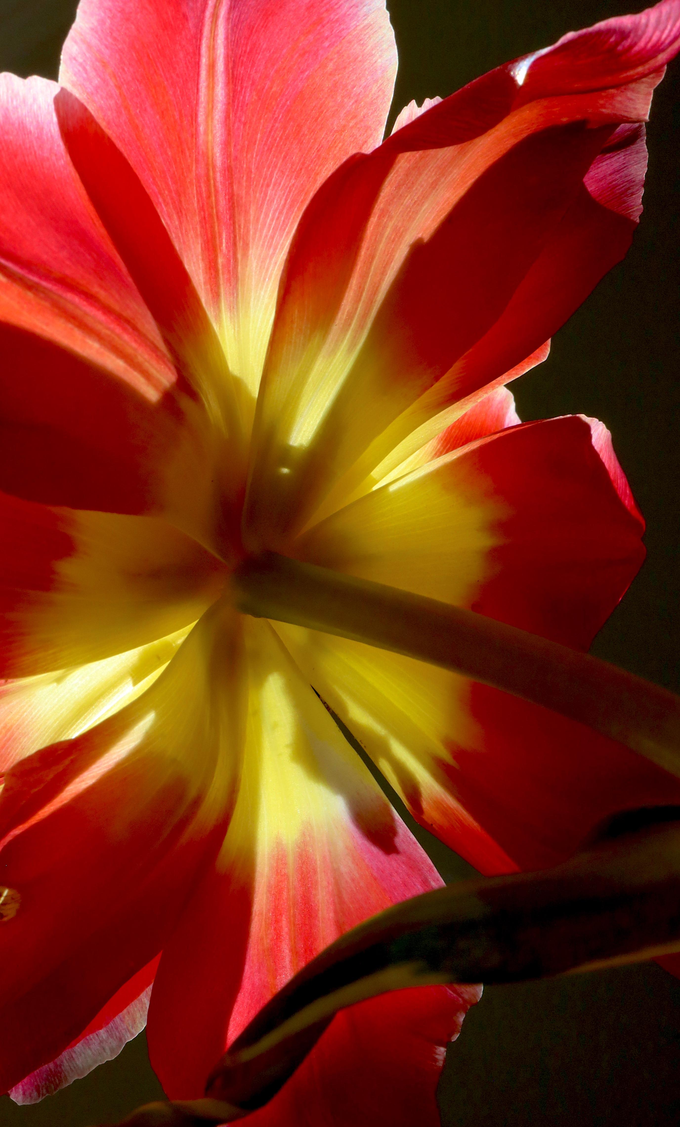 tulip crop 2