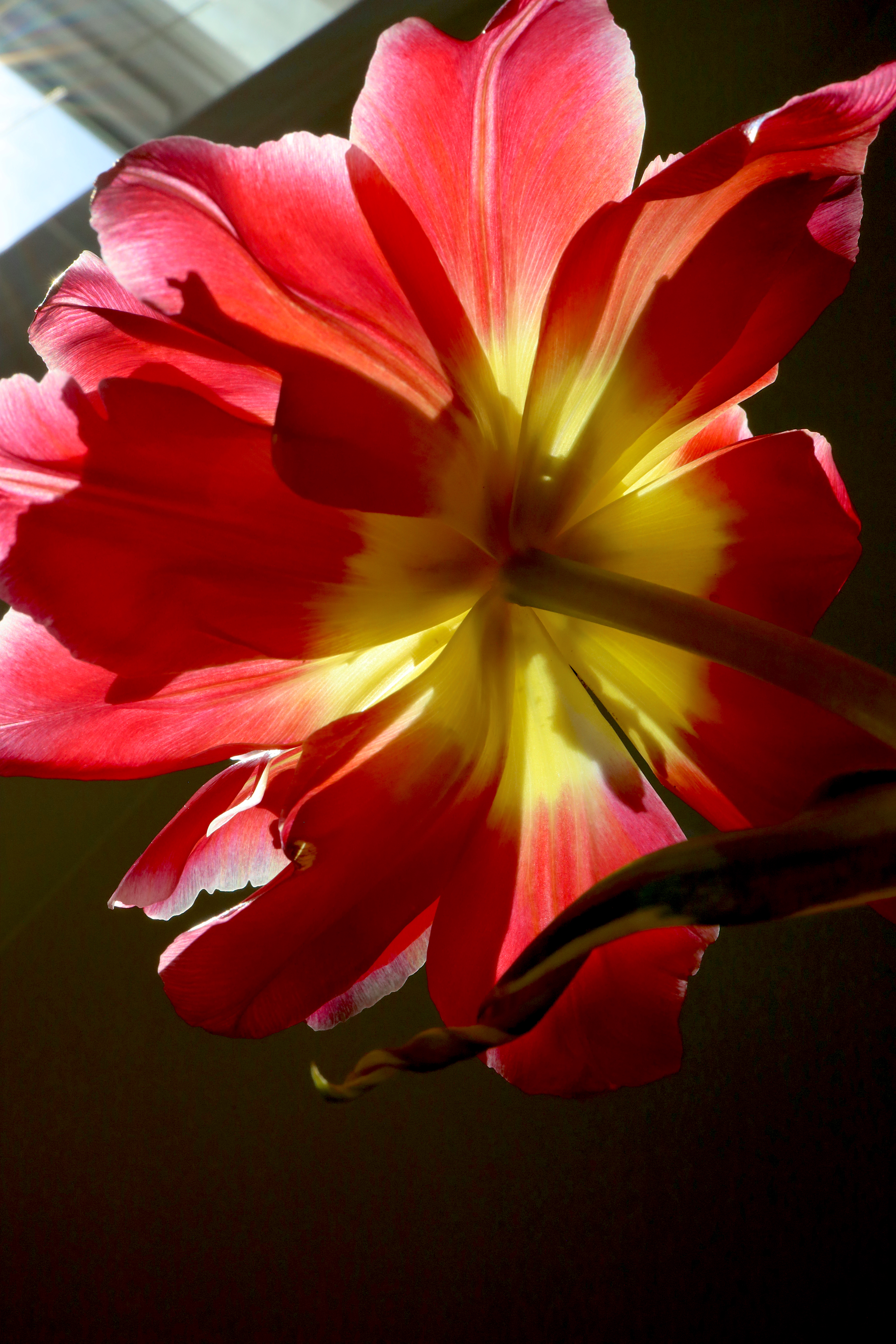 tulip full