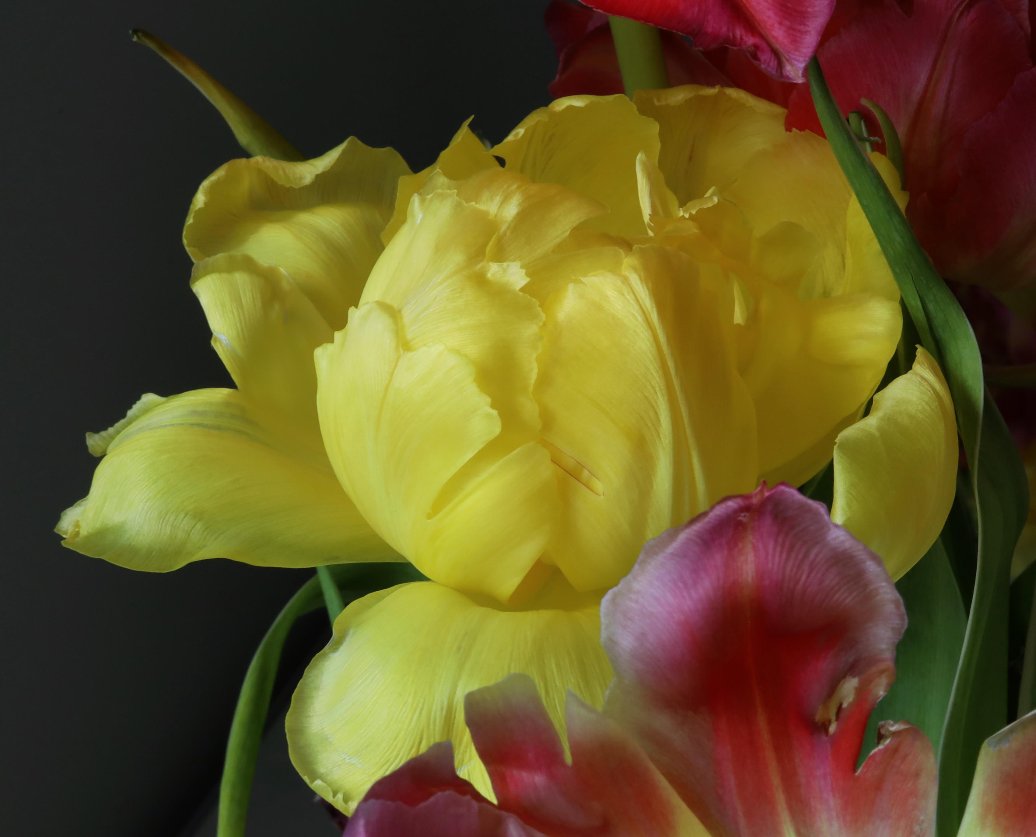 yellow tulip crop