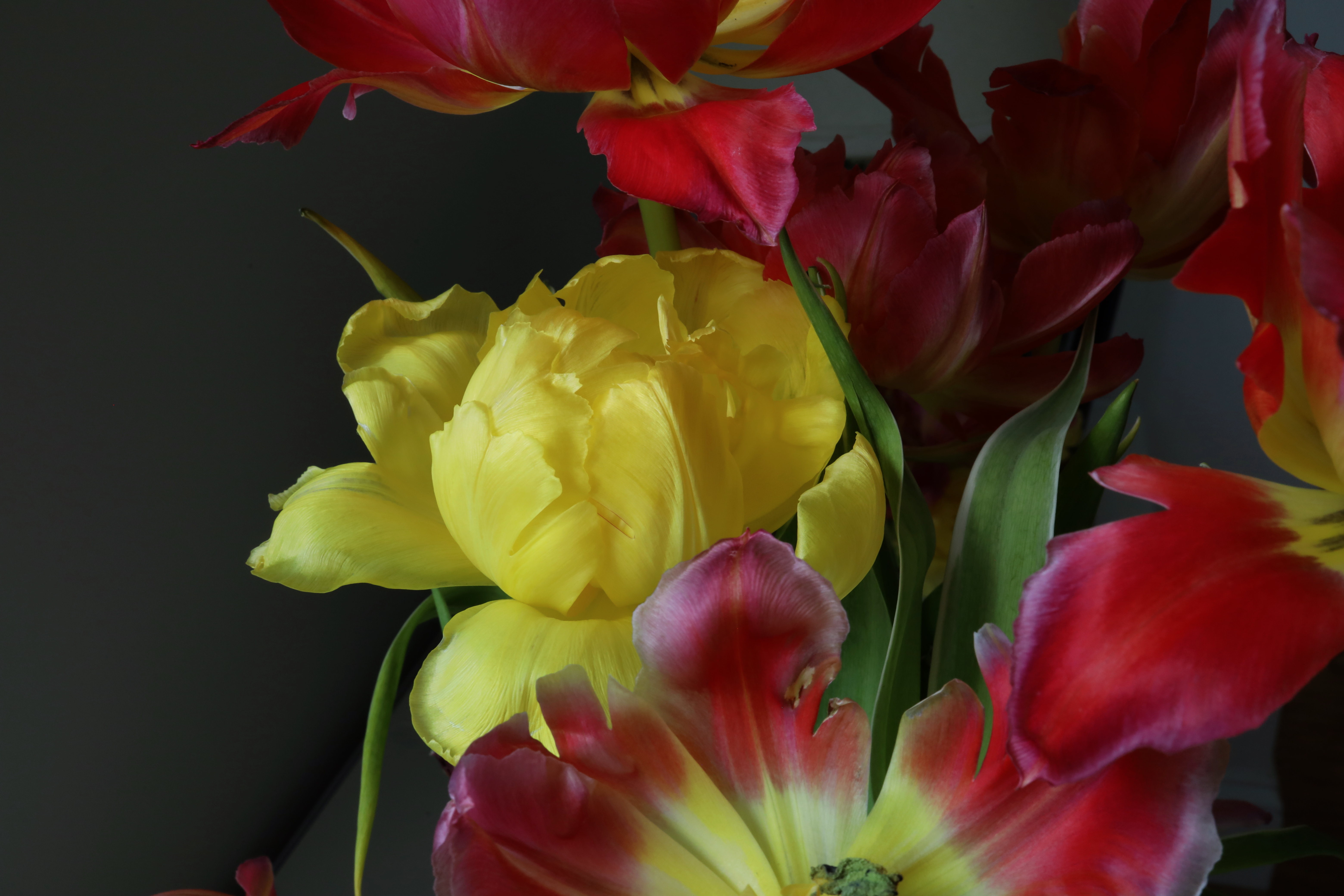 yellow tulip orig
